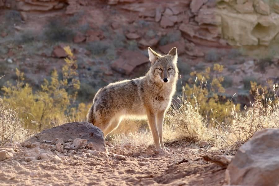 Coyote - Red Rock