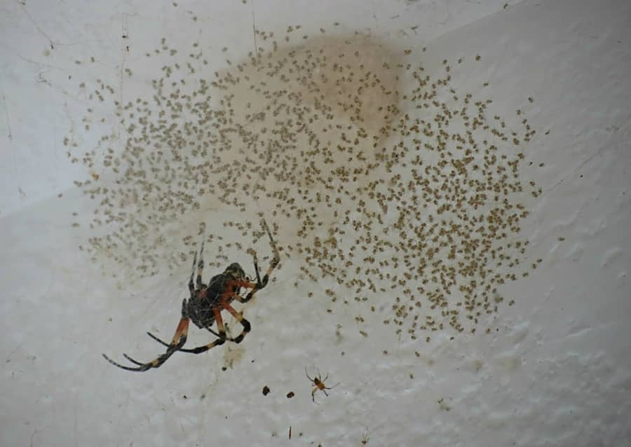 Get rid of Baby Spiders